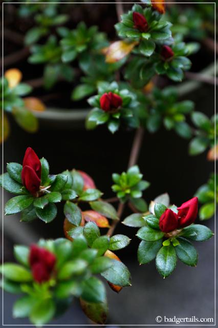 Red Azalea Buds