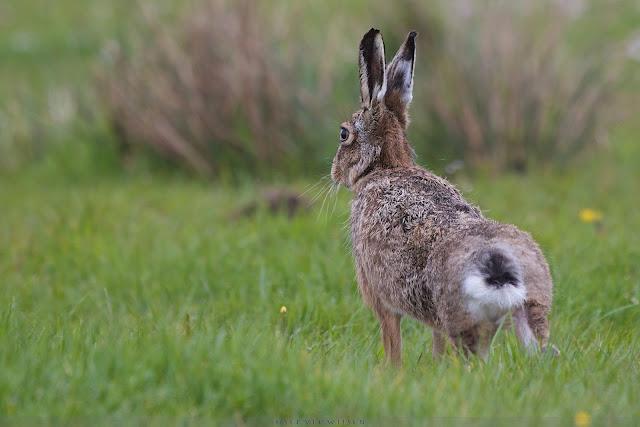 Haas - European Hare - Lepus europaeus