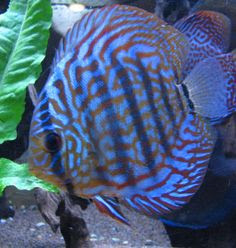 Blue Discus or the Symphysodon Aequifasciatus Haraldi