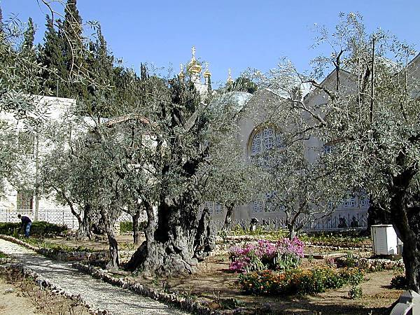 Mfs the other news olive trees of jerusalem s for Age olive trees garden gethsemane