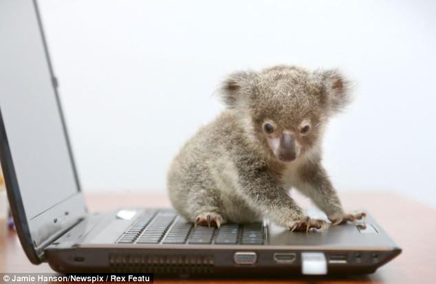 Orphaned baby koala was found on a roadside in Brisbane, Raymond the abandoned baby koala, baby koala pictures, baby koala on laptop