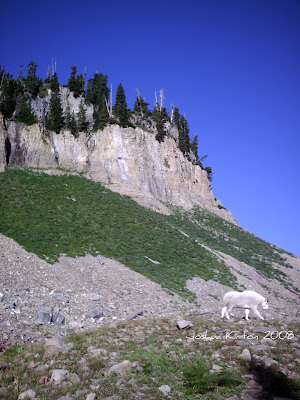 Mount Timpanogos Utah Mountain Goat