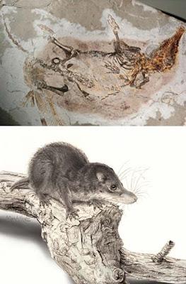 mamiferos de hace 130millones de años Akidolestes