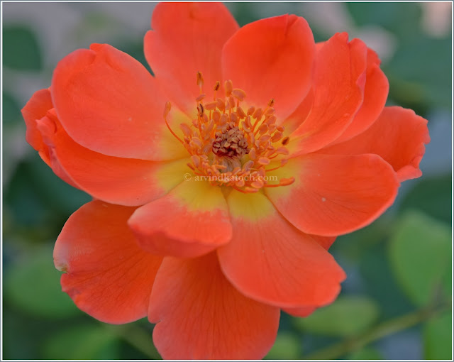 Flame of Fire, Orange Rose, Rose,