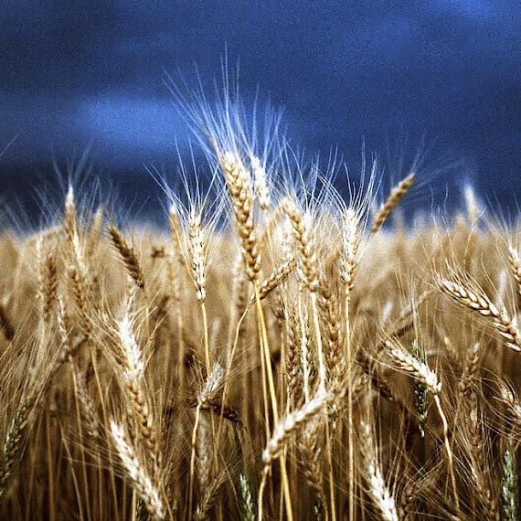 gambar ladang gandum