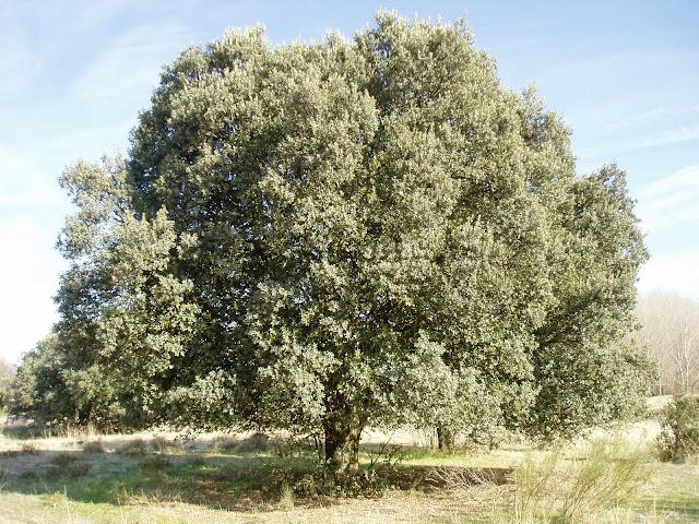 ENCINA: Quercus ilex