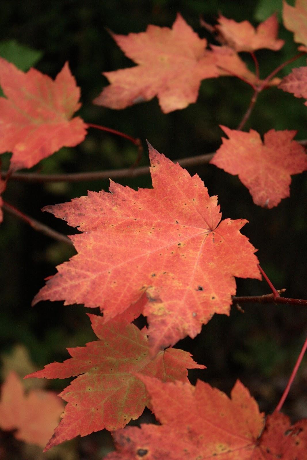 Autumn, Leaves, Smoky Mountains, Gatlinburg