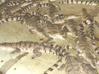 baby crocodiles in Palawan