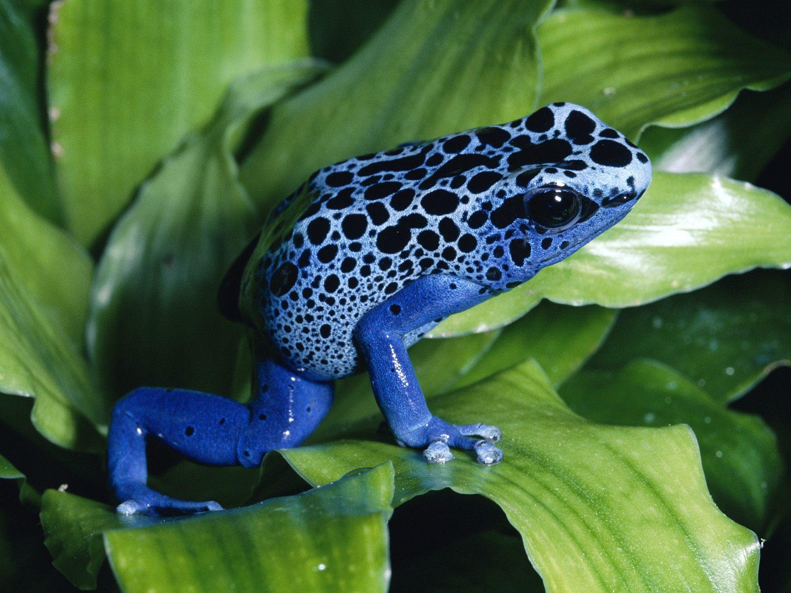 http://1.bp.blogspot.com/-HL3eM-X9UPU/T-xciFPIiYI/AAAAAAAAApY/GhWxClKZ1E4/s1600/Blue-Poison-Dart-Frog.jpg