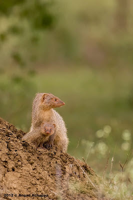 Indian Grey Mongoose with Baby wildlife photography india bangalore wildlife photographer
