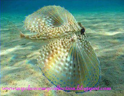 Beautiful Umbrella Fish