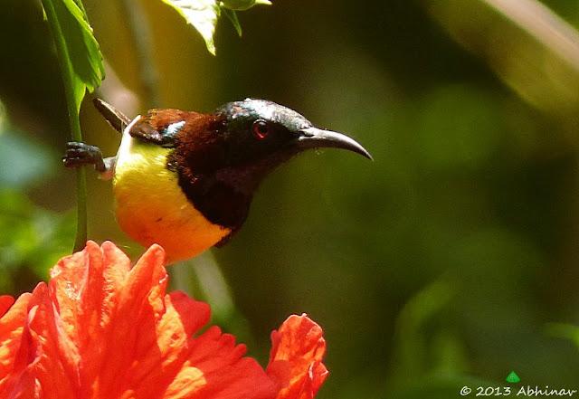 Purple Rumped Sunbird - Male