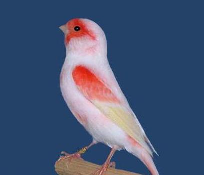 selain cantik suara kicauan burung kecil ini memukau pa