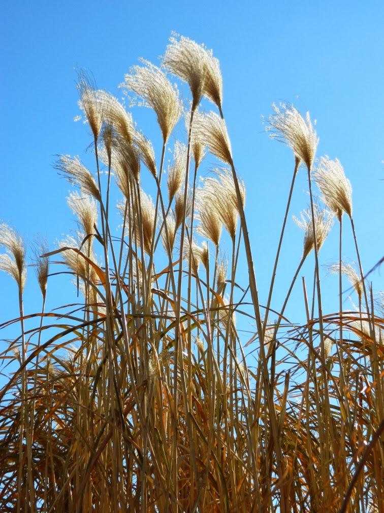 Toronto Music Garden winter miscanthus maiden grass by garden muses-a Toronto gardening blog
