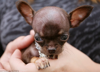 Milly Chihuahua