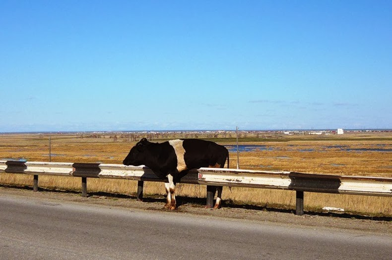 Funny animals of the week - 17 January 2014 (40 pics), cow stuck in highway barrier
