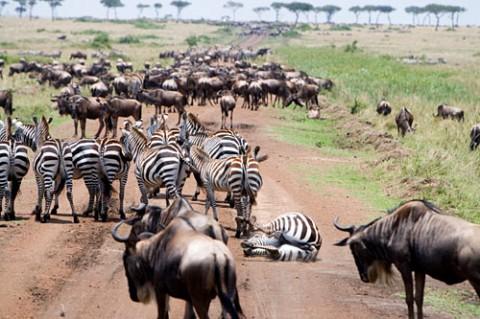 Serengeti Migration