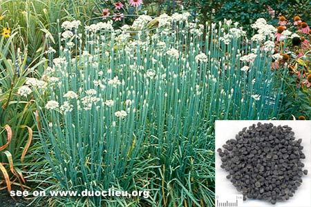 Allium tuberosum Rottl.