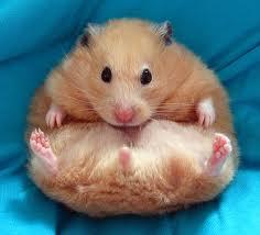Tahukah Kamu Berapa lama Hamster Hamil ? | ini infonya