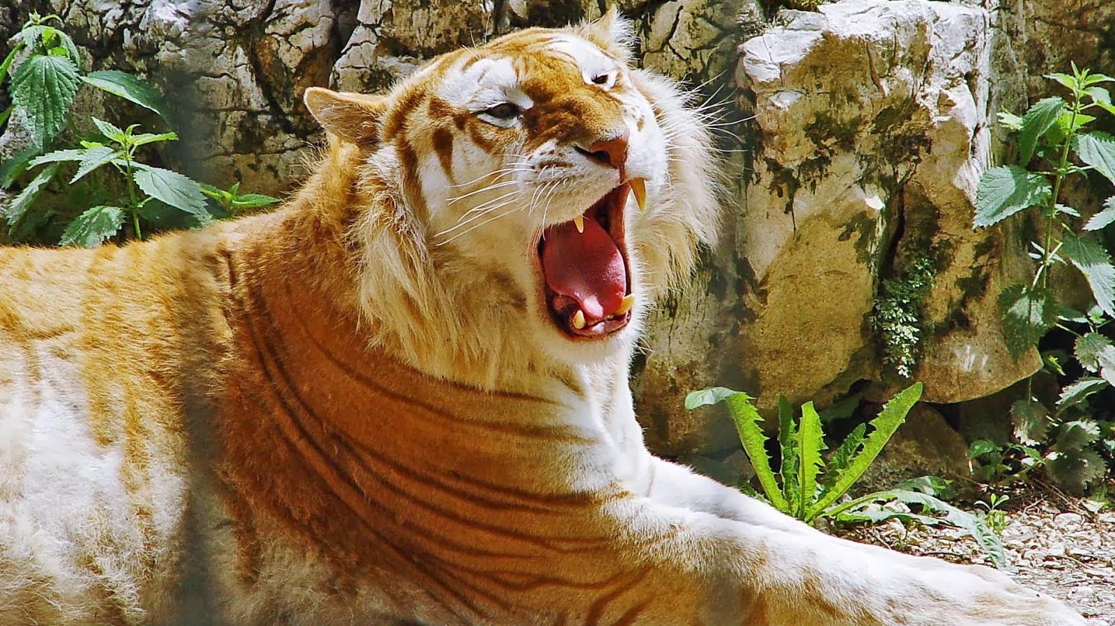 Swift Zulian Tiger  Item  World of Warcraft  wowheadcom