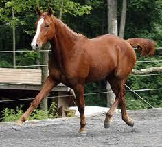 American Quarter Horse picture