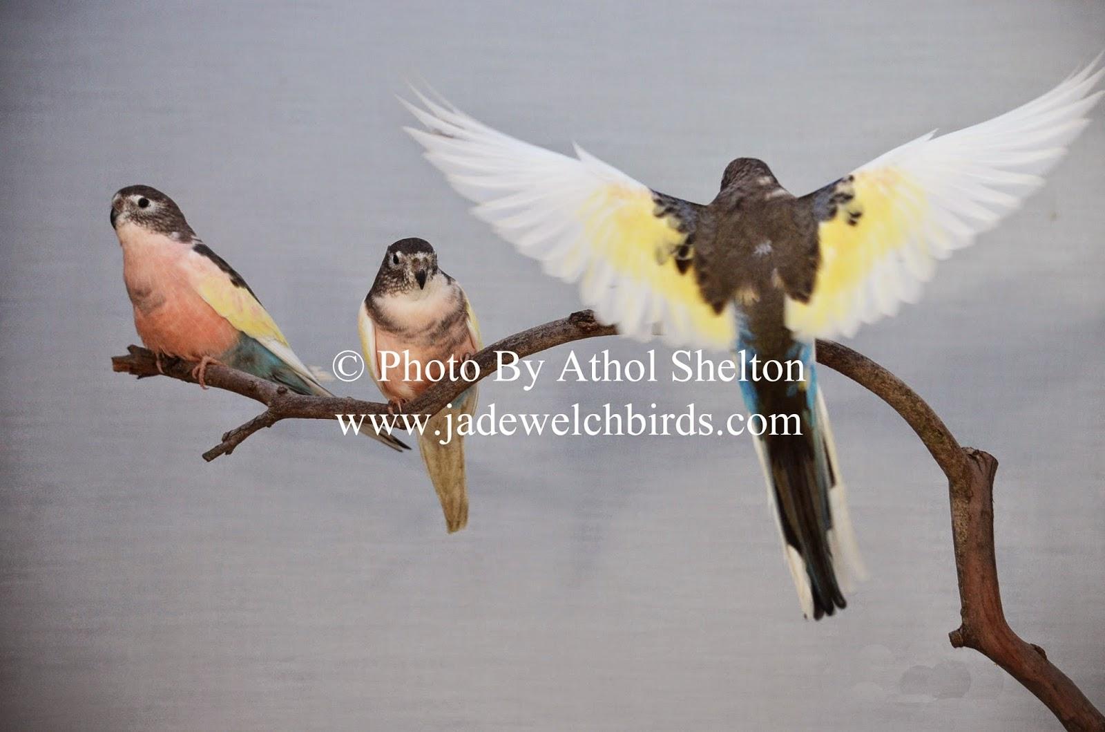 pied bourkes parrots athol shelton jade welch jadewelchbirds.com