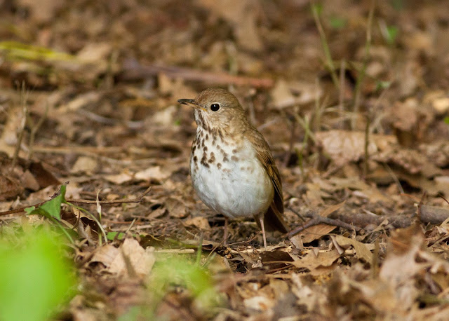 Hermit Thrush - Central Park, New York
