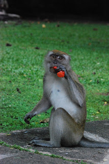 Ersatz Expat - Malaysian Monkey and Litter