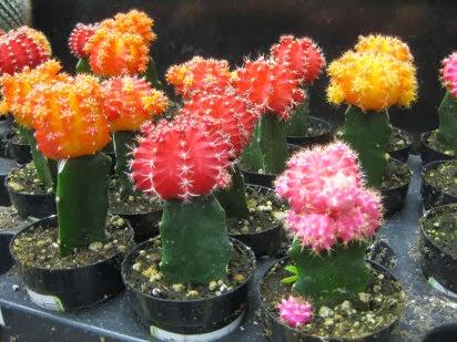 Noti t cnico econom a y turismo c mo cultivar cactus for Como plantar cactus