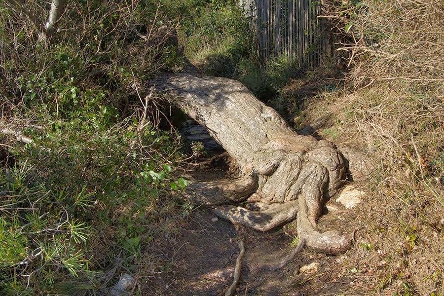 Le vieil arbre couché