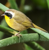 Common Yellowthroat (detail)