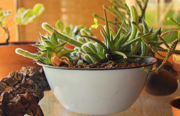 The Succulent and Cactus Lady thats me Succulent dish