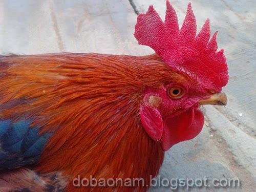 Cách chọn gà cúng đẹp, khỏe mạnh