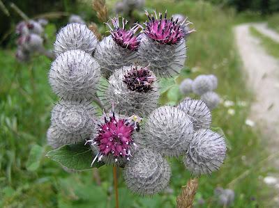 Burdock (Arctium tomentosum)