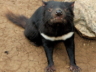 Tasmanian Devil Wallpaper