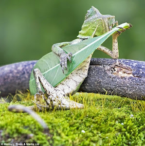 LIZARD CHILLING OUT PLAYING LEAF GUITAR