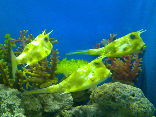 longhorn cowfish photo17
