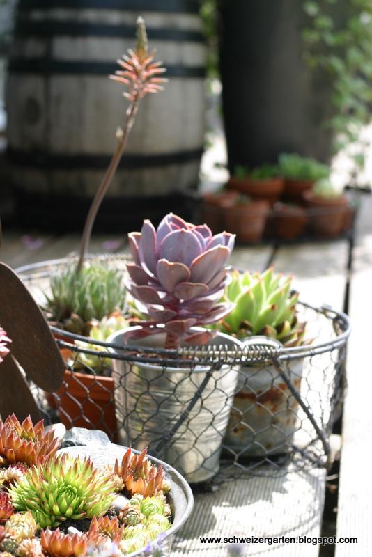 Küchenzwiebeln Pflanzen ~ ein schweizer garten sommerliches