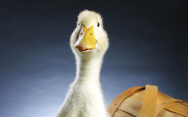Best Jungle Life duckling photos, lovely photos, animal photos