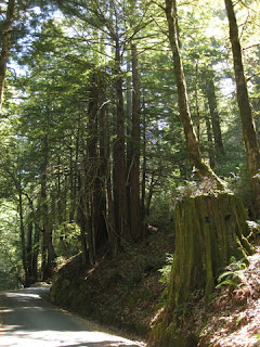 Redwood stump and young redwood trees on Native Sons Road.