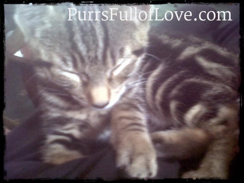 tabby kitten purring on mummy's lap
