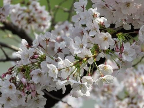 千鳥ヶ淵の桜03