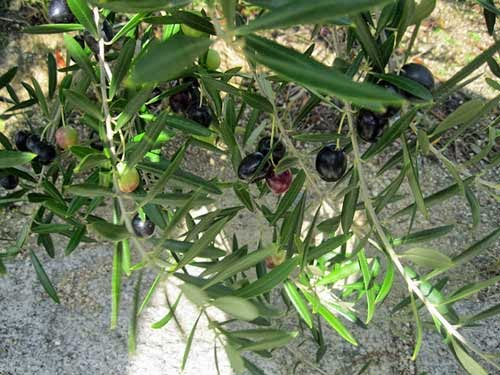 Shodoshima olives, Seto Inland Sea.