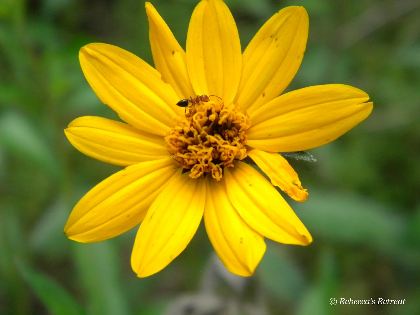 Names Of Yellow Flowers With Pictures Orange Golden Bellsyellow