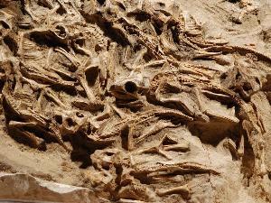 Ditemukan, Sarang Bayi Dinosaurus di Mongolia