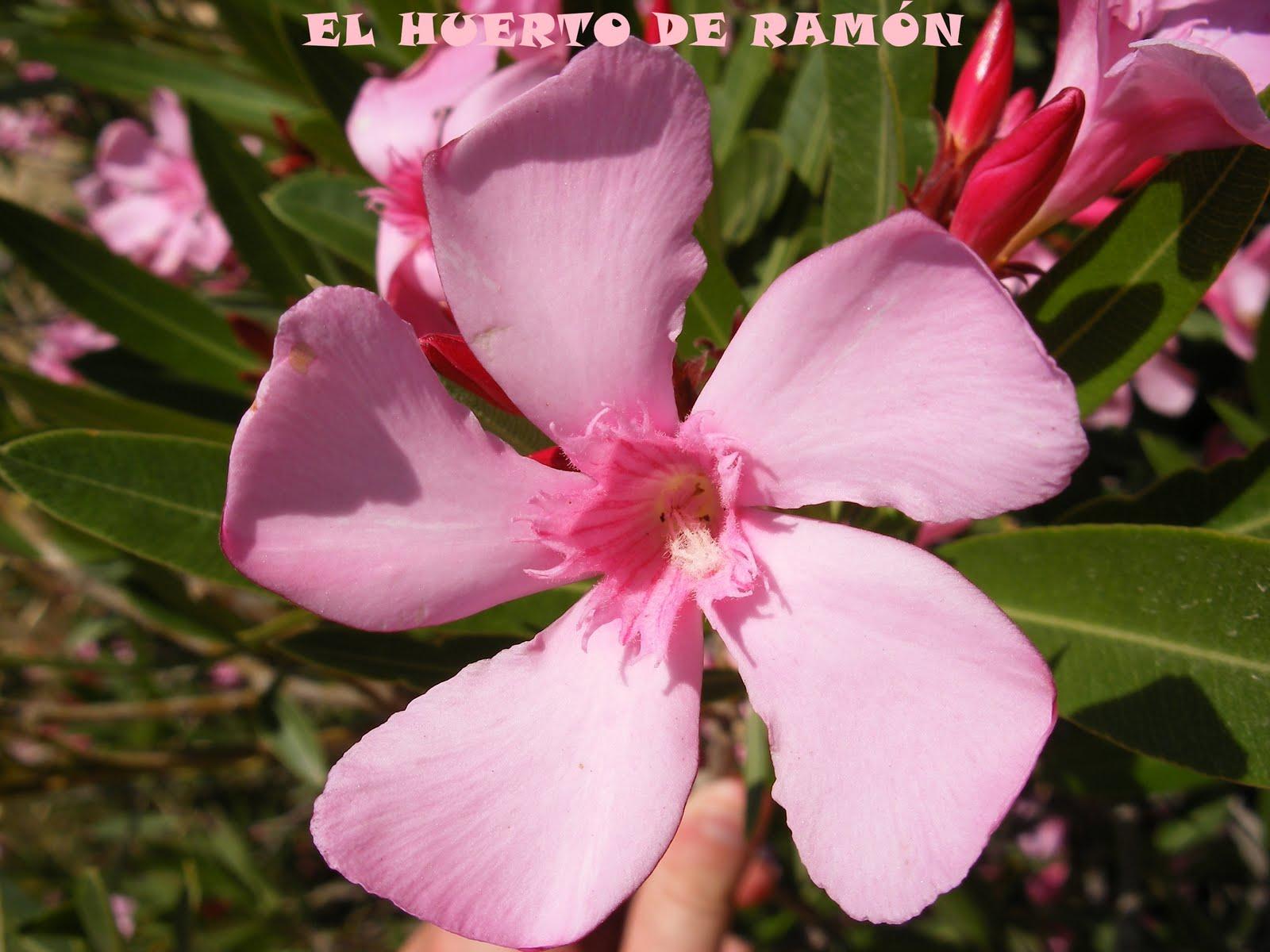 El huerto de ram n flores de plantas ornamentales iv for 6 plantas ornamentales