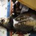 Kisah Pilu Kucing Bunting Yang Di Tendang Terjatuh Dari Tingkat Tiga Bangunan Asrama FOTO