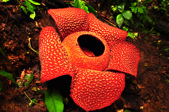 Story About Flora Fauna Rafflesia Arnoldi