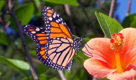 beautiful butterfly hd desktop - photo #39