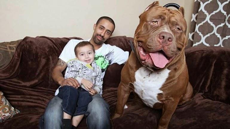 Hulk pitbull
